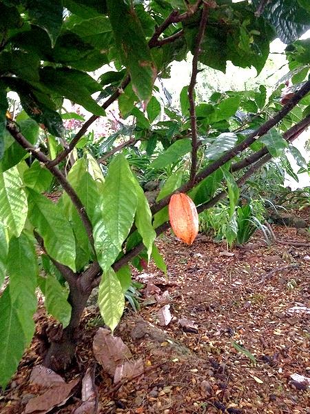 カカオの木と実